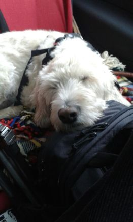 Sammy on the Road. He is a great traveller and when it comes to driving in the car, he is like a baby: the second the motor is running, he falls asleep ;-)