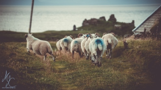 Sheep | Isle of Skye, Scotland